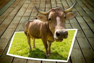 cow-1465272_1920
